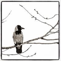 Crow on a branch - Håkon Grønning - vinner MB april