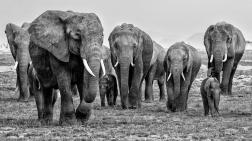TKK bronse monokrom: «Elephant herd No1 Amboseli M» – Arne Bergo